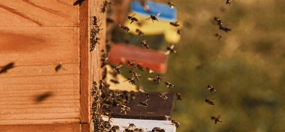 how many bees in a hive
