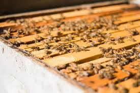 Honey bee farm bees