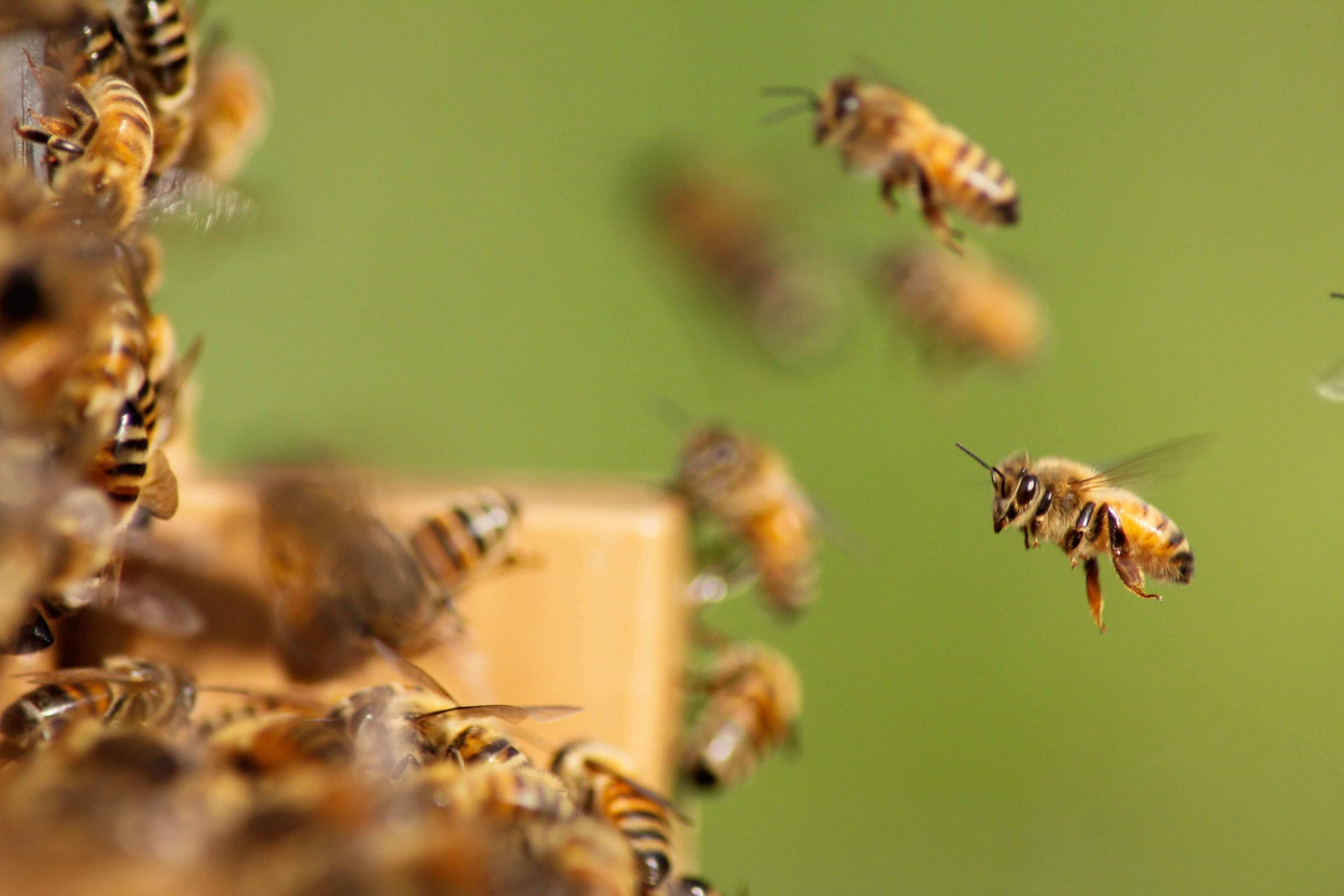 buy bees locally