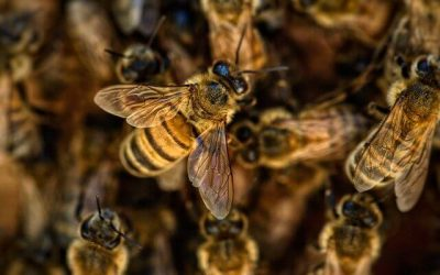 Identifying Bees : Is it a Bee, a wasp or a fly?