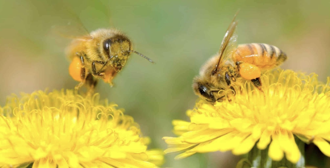 Buy a bee pollination