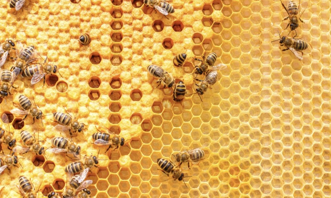 buy a bee colony