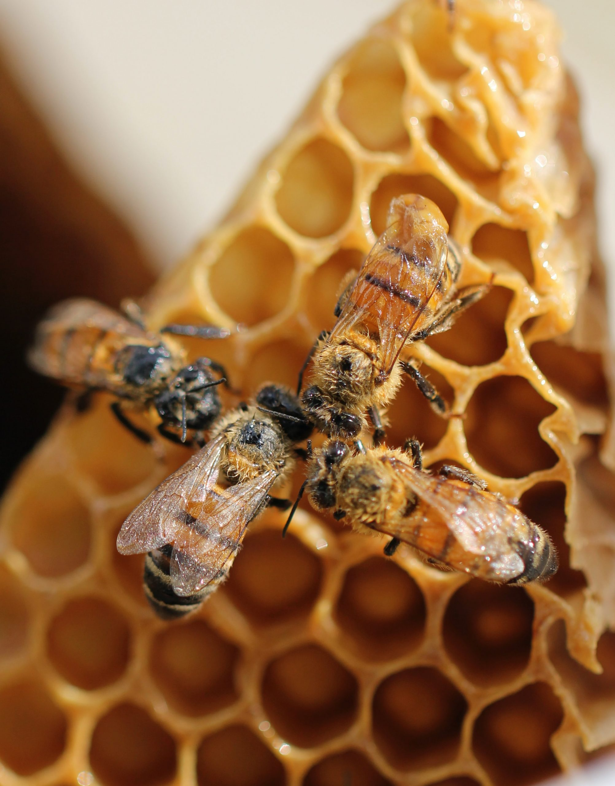 what do bees use honey for?