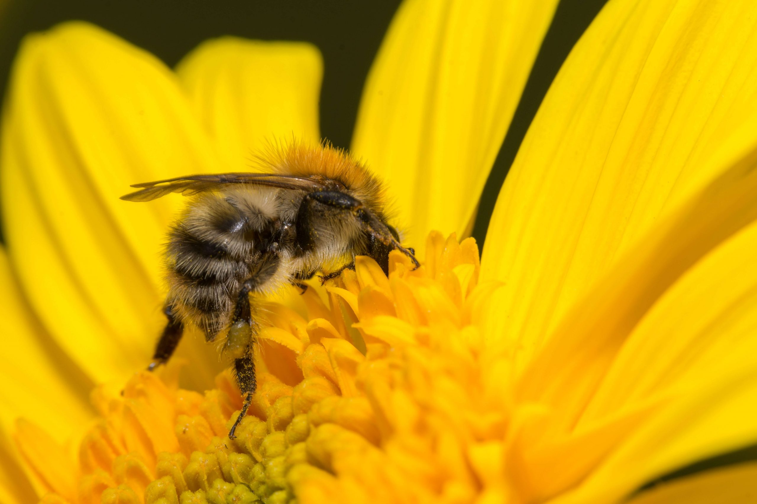 honey is made by bees